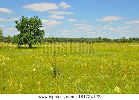 Lonely tree in the meadow . A Tree In The Meadow with landscape clouds grass flowers. Meadow with Tree Photo.
