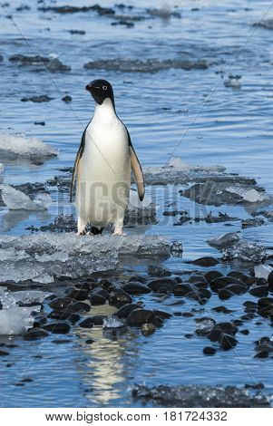 Adelie Penguins on the ice in Antarcdtica
