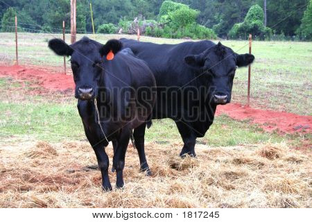 Angus Bull And Cow