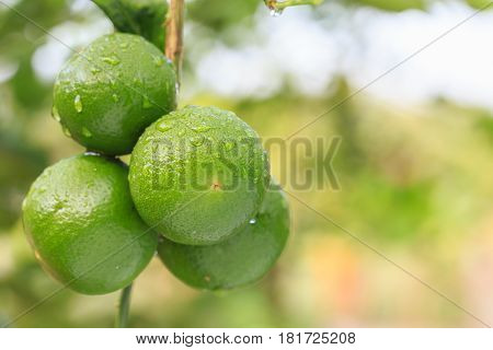Fresh Green Lemon With Water Drop On Tree And Green Blur Background