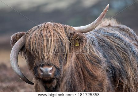 highland cattle in scotland during a rainy day