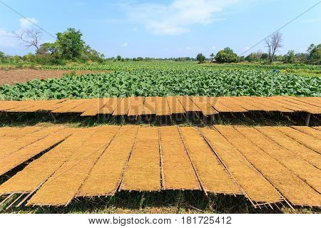 Drying Tobacco Leaves To The Sun And View Of Tobacco Plant