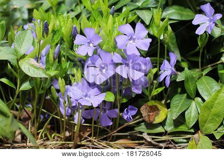 close photo of nice purple blooms of lesser periwinkle (Vinca minor)