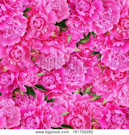 Beuatiful pink peony flowers and leaves for background