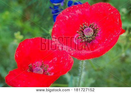Narrow-focus view of a red corn poppy in a vibrant Texas wildflower field