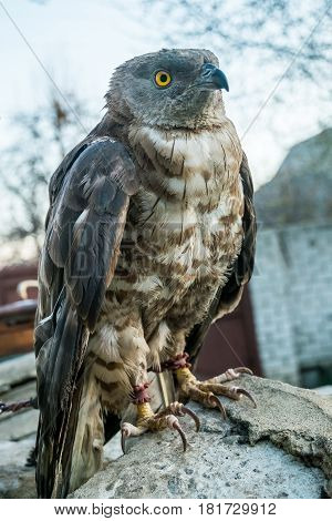 portrait of Pernis apivorus - bird from falcon group