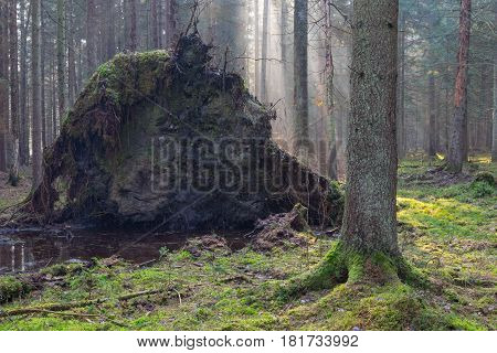 Old giant trees of Bialowieza Forest coniferous stand broken down in fall morning mist, Bialowieza Forest, Poland, Europe