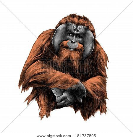 hairy orangutan in full growth sits on his haunches graphics sketch vector color illustration