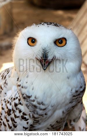 Portrait of white snow polar owl with yellow eyes vertical view