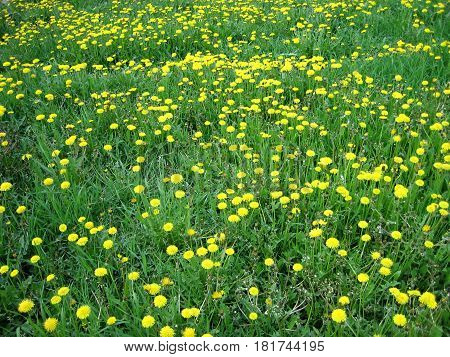Multitude of yellow flower dandelion on the green grass background horizontal view