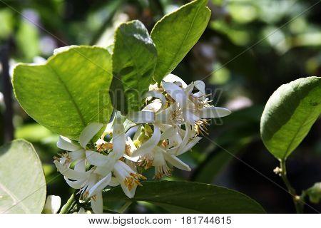 Flowering fruit tree white grapefruit (Lat.-Citrus paradisi)