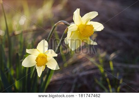 Yellow narcissus in spring garden in bright sunset light