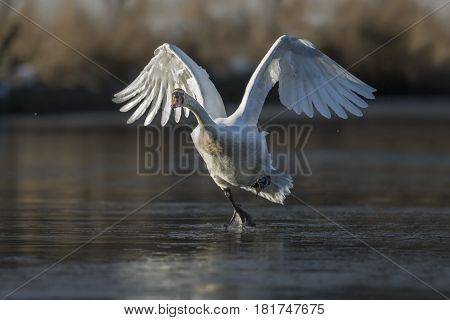 Mute Swan Flying Across A Frozen Pond