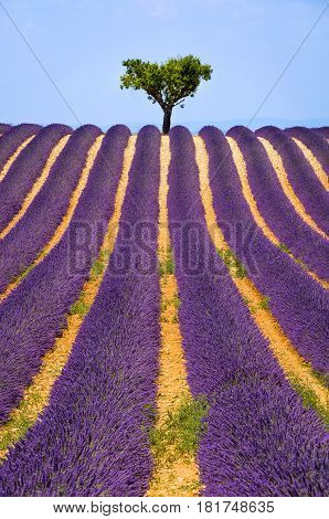 Lavender field and olive tree in Valensole on a warm summer afternoon. Southern French Alps (Alpes de Haute Provence) South of France