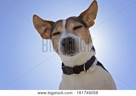 Low angle view of sleepy Jack russell terrier dog on the blue sky background close up looking at camera back light
