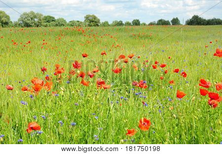 Poppy Perennial Flowers. Pictures of poppies flowers. Blooming red poppies flowers with wildflowers meadow.