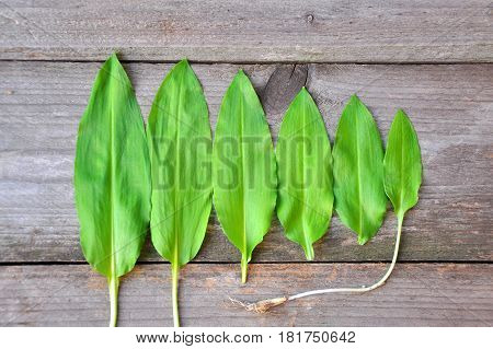 Wild garlic, ramson from smallest to largest leafs. Size of wild garlic