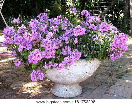 A WHITE FLOWER POT FILLED WITH PURPLE FLOWERS 01avs