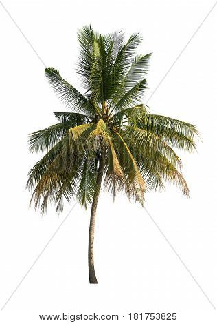 CloseUp coconut trees on white background. nature