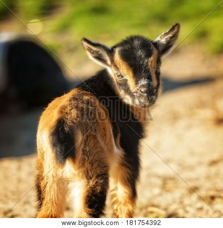 Baby goat standing still and turning around towards the camera
