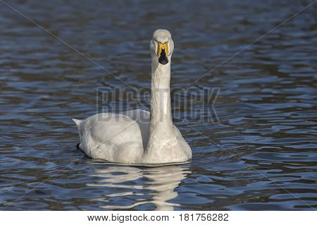 Whooper Swan Swimming On A Loch, Close Up