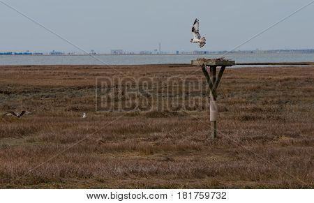 Red-Tailed hawk flies over a nest in the Salt Marsh