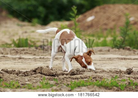 Jack Russell terrier dog is digs a hole
