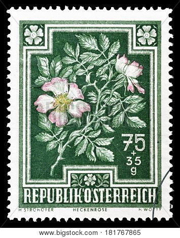 AUSTRIA - CIRCA 1948 : Cancelled postage stamp printed by Austria, that shows Dog rose.
