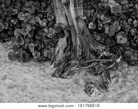 Base of a tropical tree on Seven Mile beach in Cayman Islands in black & white