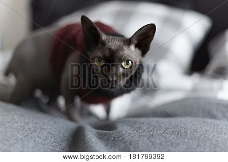 Close up portrait of interesting sphinx cat with yellow eyes in red and black sweater looking forward at bed home interior.