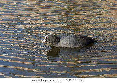 Eurasian Coot (Fulica atra) adult swimming in water of a Town Canal