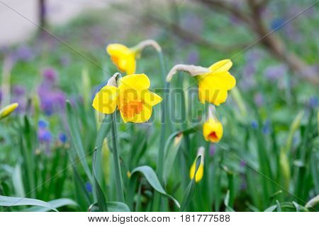 Lovely Field With Bright Yellow And  White Daffodils (narcissus).
