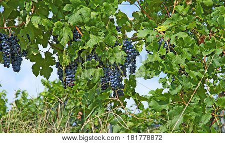 Ripe hanging blue grapes, ready to be harvest