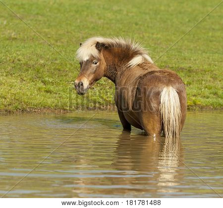 Pony standing in a pond turning around looking at me