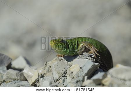 Sand Lizard. An Ordinary Quick Green Lizard. Lizard On The Rubble. Sand Lizard, Lacertid Lizard.