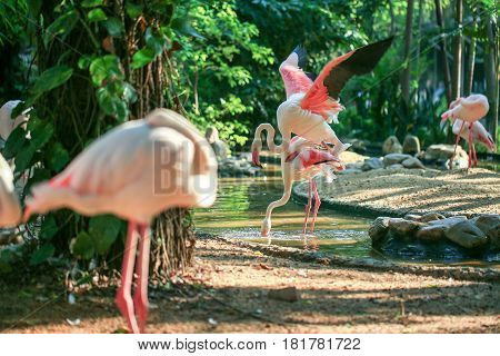 Greater Flamingo bird in a small river with natural forest background.
