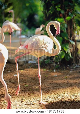 Wildlife background Greater Flamingo bird is standing in one leg with natural forest background.