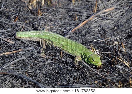 An Ordinary Quick Green Lizard. Lizard On The Ground Amidst Ash And Ash After A Fire. Sand Lizard, L