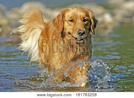 Golden Retriever walking in river, cooling off on hot summer day