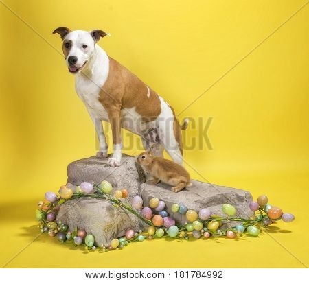 Pit-Bull mixed breed dog standing on rock with bunny