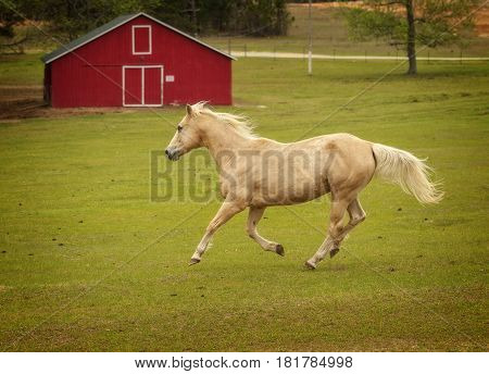 Horse galloping in front of red barn