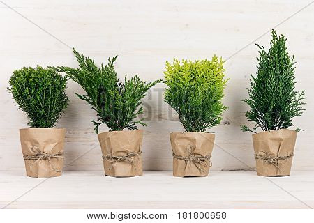 Home decoration of different young green conifer plants in pots with copy space on beige wood table.