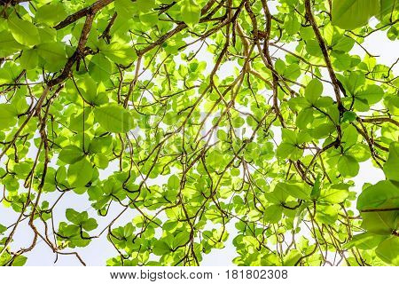 green and red sea almond leaves with tree branch isolated on white background use as natural copy space or multipurple backdrop, Indian almond tree, Branch leaves isolated on white background