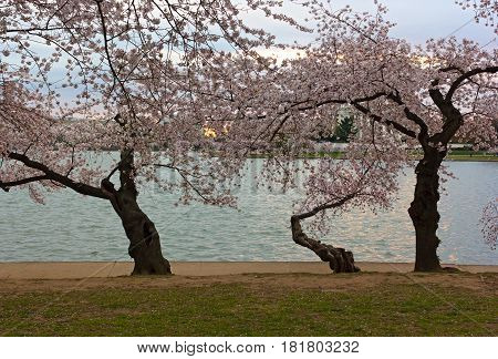 Old Japanese cheery tree near the water of Tidal Basin at sunrise Washington DC USA. Dawn in US capital with blooming cherry trees close to the water.