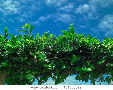 foliage. Twisted plant. Glowing green. blue sky. The sky in small clouds. Spindrift clouds.