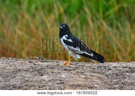 Pied Harrier Bird