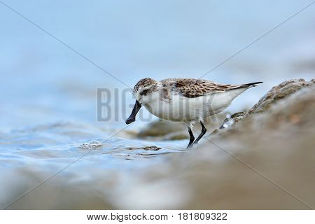 Spoon-billed Sandpiper Bird