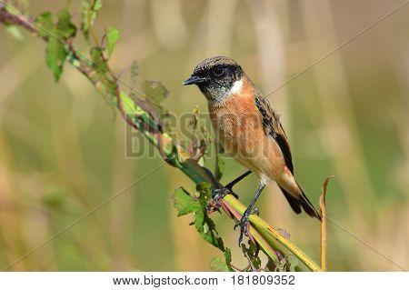 Eastern Stonechat Bird