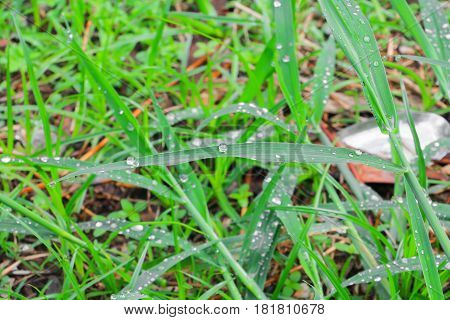 water drop on the leaves green grass beautiful background select focus with shallow depth of field.