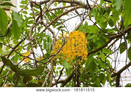 Cassia fistula. Golden Shower Tree in natural beautiful on the blue sky background